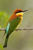 Chestnut Headed Bee-eater  Yala NP,Sri Lanka