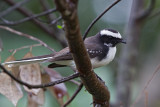 White Browed Fantail