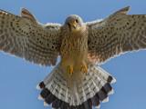 Common Kestrel   Wales