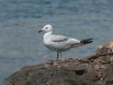 Audouins Gull_036.jpg