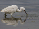 Little Egret Conwy RSPB