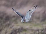 Short-eared Owl    Wales