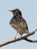 Starling  Conwy RSPB
