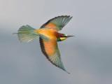 European Bee-eater   Lesvos,Greece