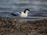 Avocet   Lesvos,Greece