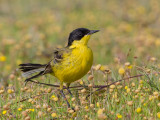(Black-headed) Yellow Wagtail   Lesvos,Greece