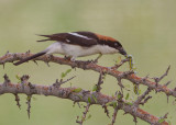 Woodchat Shrike   Lesvos,Greece