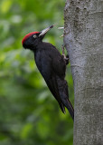 Black Woodpecker   Bulgaria