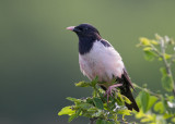 Rose-coloured Starling    Bulgaria