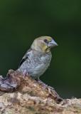 Hawfinch, juvenile    Bulgaria