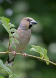 Hawfinch,female    Bulgaria