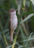 Great Reed Warbler   Bulgaria