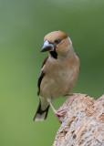 Hawfinch    Bulgaria