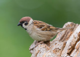 Tree Sparrow    Bulgaria