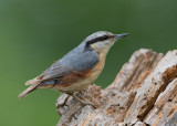 Nuthatch   Bulgaria