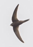 Common Swift   Wales