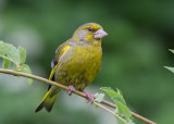 Greenfinch  Bulgaria
