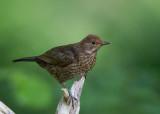 Blackbird LLandudno