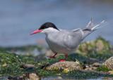 Arctic Tern   Wales