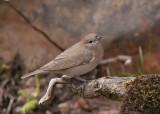 Garden Warbler  Conwy