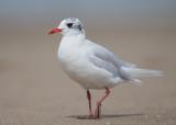 Mediterranean Gull    Colwyn Bay