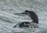 Great Northern Diver     Wales