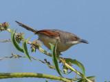 Red-winged Warbler