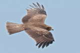 Black Kite    Goa