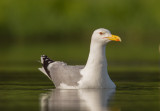 Caspian Gull    Hungary