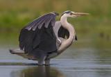 Grey Heron   Hortobagy,Hungary
