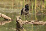 Hooded Crow    Hortobagy,Hungary