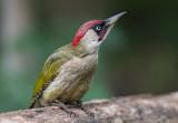 Green Woodpecker   Hungary
