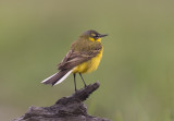Yellow Wagtail   Hungary