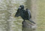 Little Cormorant    Kerala