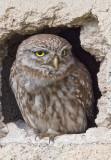 Little Owl   Lesvos,Greece