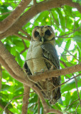 Brown Wood Owl  Goa,India