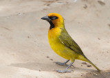 Black-necked Weaver    Gambia