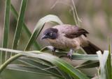 Blackcap Babbler