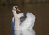 Mute Swan   Abergele