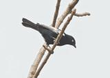 White-shouldered Black Tit