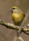 Crossbill Clocaenog Forest,Clwyd