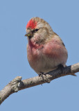 Lesser Redpoll   Conwy Valley