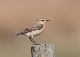 Northern Wheatear   Conwy Valley