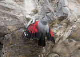 Wallcreeper   Bulgaria