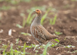 Grey Partridge   Bulgaria
