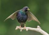 Starling  Bulgaria