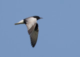 White-winged Tern   Bulgaria