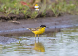 (Black-headed) Yellow Wagtail   Bulgaria