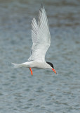 Common Tern  Cemlyn Bay Anglesey