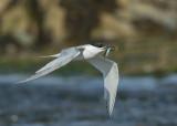 Sandwich Tern  Cemlyn Bay Anglesey